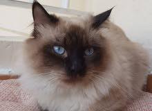 Beautiful Blue Eyed Himalayan Cat