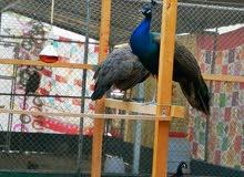 طاووس هندي للبيع