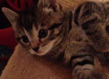 British Tabby Kitten