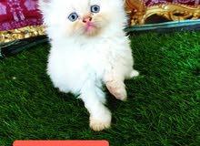 للبيع قطط شيرازي وهملايا