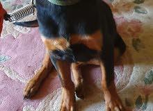 كلب روت فايلير للبيع لعدم توافر الوقت الكافي للاهتمام به