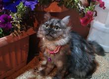 قطه أنثى للبيع ( شيرازي)