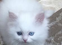 محتاج قطة صغيرة للتبني ( موفرلها رعاية وإهتمام )