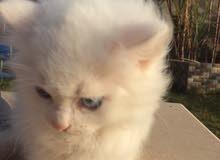 قطة انثي فارسية درجة اولي للبيع الون ابيض العيون اخضر وازرق بصحة جيدة