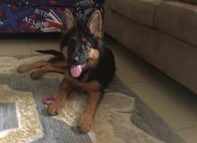كلب جيرمان شيبر عمر خمس شهور