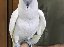 cockatoo Salfer cresta Friendly