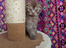 Rare chocolate color scottish fold kitten