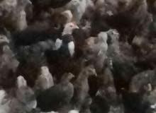 صوص دجاج بلدي كميه