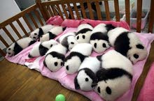Baby Pandas ready to go at affordable amounts