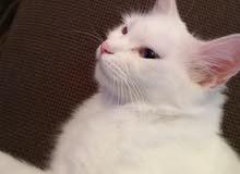 قطه جميله أنثى للبيع