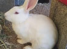 ارنب  الذكر ابيض عيونه حمر والانثى عيونه سود