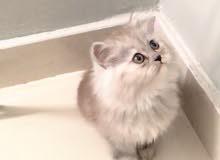 قطه صغيره مون فيس جداً لعوبه وجميلة