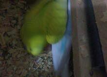 طيور حب لون جميل تحتهم فرخين