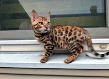 قطط بنغل للبيع // Bengal cats for sale