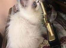 قط هيمالايا باي كلر مختلف مواصفات توب وسعر مميز