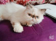 قطه انثى بيرشن