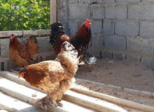 دجاج براهما زهري