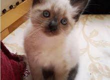 قطط السيامو صغيرة