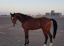 حصان ولد بلاك للبيع