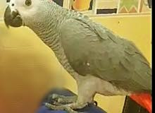 African gray Kasco (Superjambo) for sale.