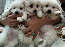 كلاب جيرفون