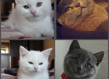 للبيع قطط( بريتيش بيور  ) *ذكور واناث االلون: (يوجد ابيض ويوجد رمادي) بسعر معقول