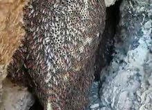 عسل عماني طبيعي 100/%