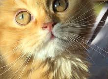 قط فارسي /  PERSIAN CAT