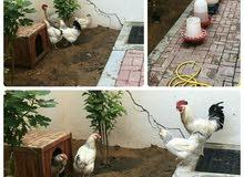 الدجاج الفرنسي الملثم (ابيض كولومبي)