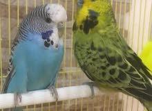 للبيع طيور حب هولندي