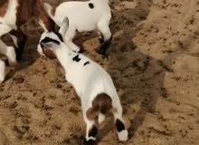 تيوس الماعز القزم