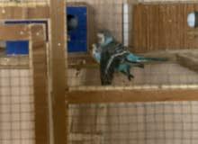 طيور حب كرست لون مميز مزاويج فول يردن يبيضن