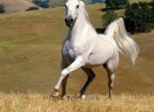 مطلوب حصان البيع عمر 10 اشهر