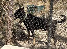 كلب جيرمن ولف دوك  العمر 8شهور السعر 200