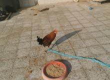 Chicken for sale