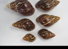 صدف حلزون افريقي عملاق