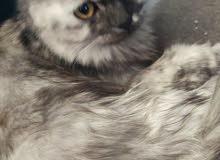 قطه نوع سكوتش فولد مكس شانشيلا للبيع