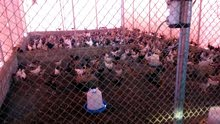 للبيع دجاج عماني خال من الهرمونات