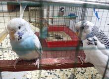 طيور حب +فناجس+ قفص كبير للبيع