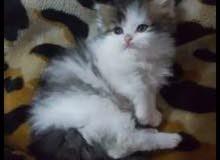 قطط اعمار شهرين