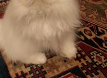 persian kitten piggy face all white blue eyes for sale