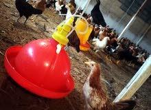 دجاج عماني     حسب الاعمار