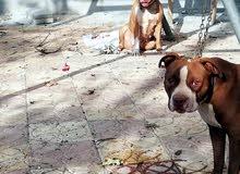 جوز كلاب بيتبول للبيع