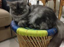 قطة كبيرة النوع شيرازي العمر سنه وشهرين