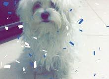 كلب  maltez  (انثى)