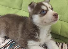 husky puppies for sale جراوي هاسكي للبيع