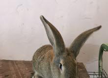 أرانب للبيع المكان جنزور