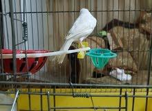 طيور كنار للبيع