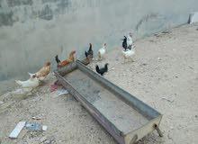 دجاج للبيع  بلدي