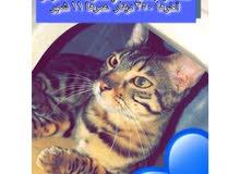 قطة نثيه للبيع، قابله للتزاوج عمرها 11 شهر بنغال أصلي
